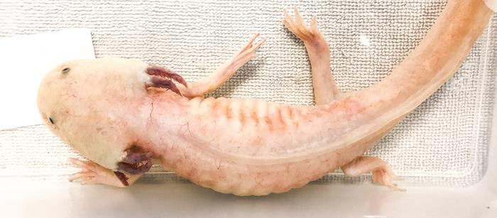 Consultation d'un Axolotl