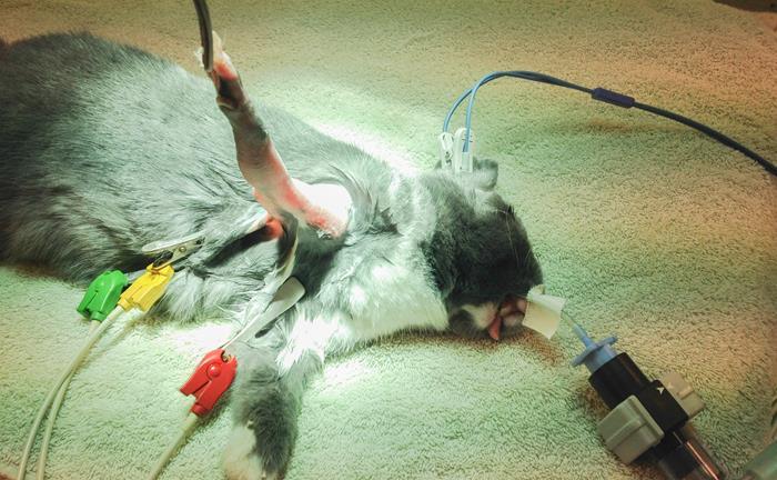 Anesthésie du lapin