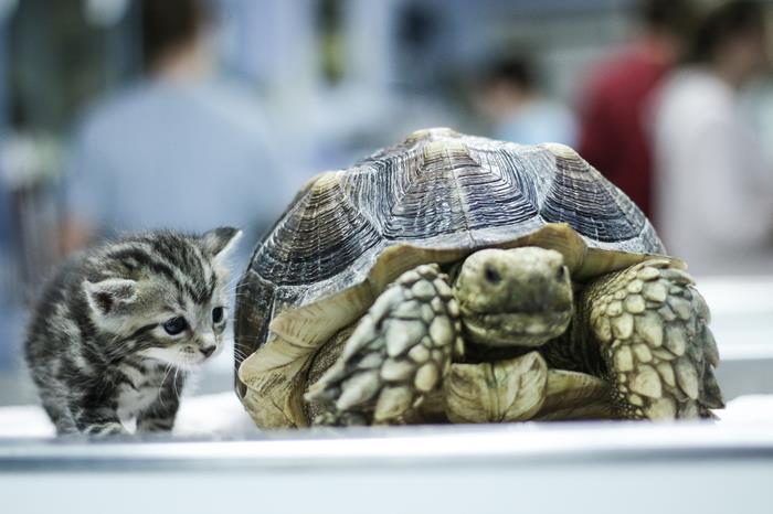 Une tortue Sulcata aux côtés d'un petit chaton